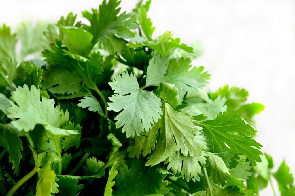Bunch of Fresh cilantro leaves