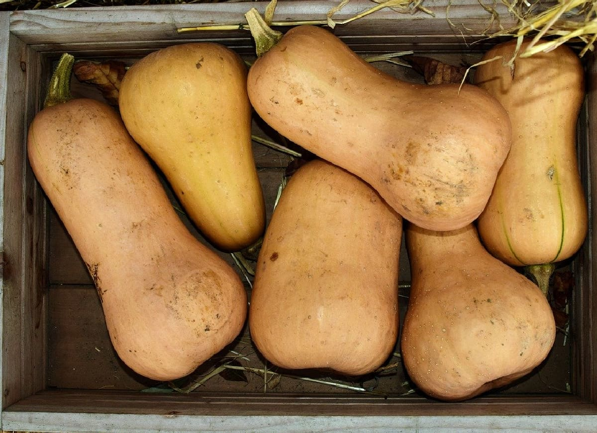 Wooden crate of whole dirty butternut squashes